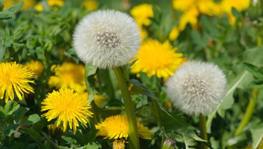 1-main-dandelion