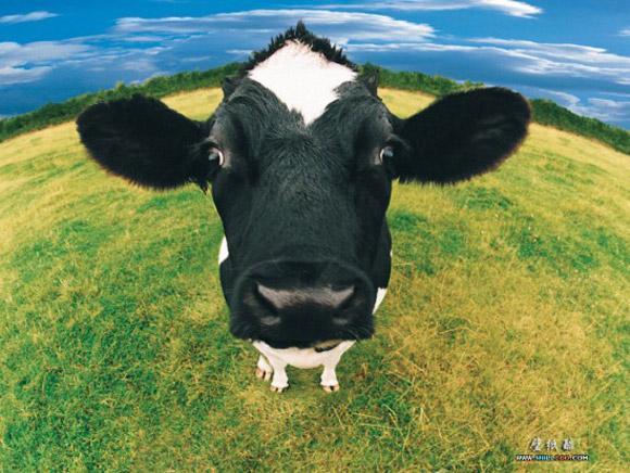 Nằm mơ thấy con bò đánh số gì?