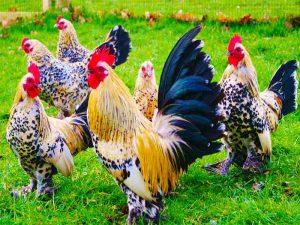 Mơ thấy gà đánh con bao nhiêu trong xổ số miền bắc