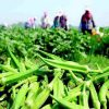 """Nông dân trồng """"vua các loài rau"""""""