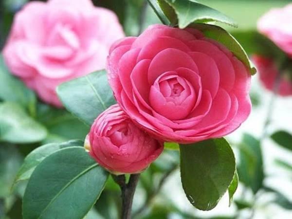 Ý nghĩa của cây hoa trà trong phong thủy?